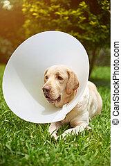 Dog wearing plastic cone collar on her head