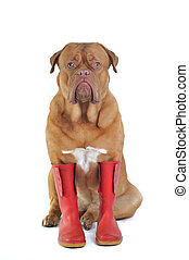 Dog Wearing Rubber Boots
