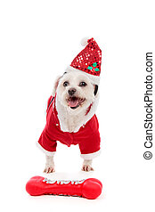 Dog wearing Santa Claus costume - A happy dog wearing a ...