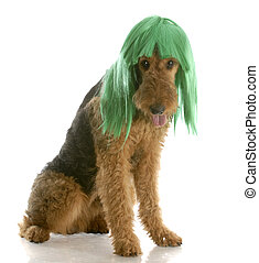 dog wearing wig - airedale terrier wearing green wig with...