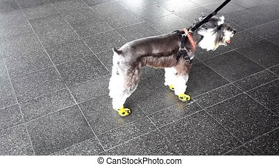 Dog wears shoes on all four paws for protection.