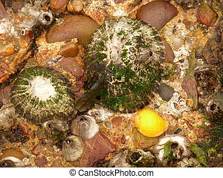 Dog Whelk, Barnacles and Limpets - Bright yellow dog whelk...