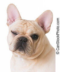 dog winking - french bulldog portrait with one eye open and...