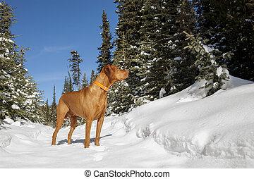 dog, winter, jacht, bos