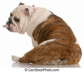 dog with a bad attitude - english bulldog viewed from behind with tongue sticking out