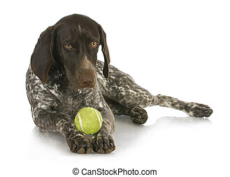 dog with a ball - german short haired pointer with a tennis...