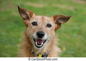 Dog with a big smile - Cute scruffy terrier dog with a big ...