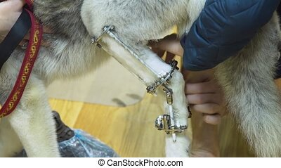 Dog with a broken paw in a veterinary clinic. - Dog with a...