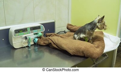 Dog with a catheter in a vet at the clinic.