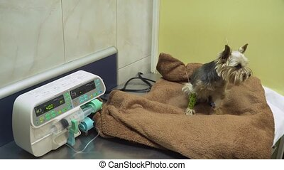 Dog with an intravenous infusion drip in a vet at the clinic. Dog with iv catheter, cannula in vein taking infusion. Syringe driver or syringe pump is a small infusion pump for intravenous injection. Infusion pump iv feeding.