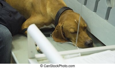 Dog with an intravenous infusion drip in a vet at the clinic. Dog with iv catheter, cannula in vein taking infusion.