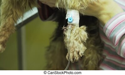 Dog with a catheter in a vet at the clinic. - Dog with an...