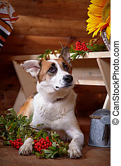 Dog with a mountain ash in the rural house.