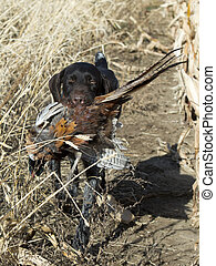 Dog with a Pheasant - Hunting dog with a pheasant