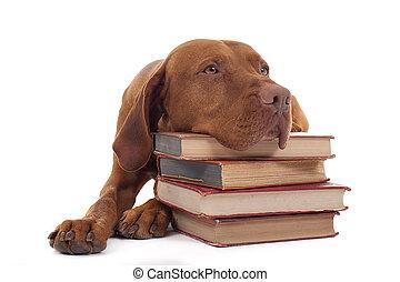dog with a stack of books - ginger color vizsla resting head...