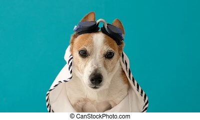 Cute jack russell terrier dog in swimming goggles on a blue background