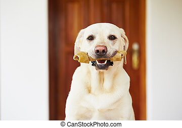 Dog with bone - Labrador retriever with bone is waiting at ...