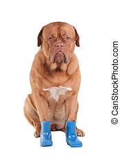 Dog with boots