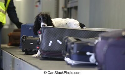 Dog with border guards detector of drugs and other prohibited items in bags on a conveyor belt at the airport. Border dog searches for drugs in baggage. Border dog sniffing suitcases at the airport.