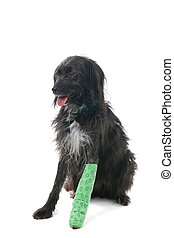 Cross breed dog with broken leg isolated over white background