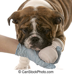 gloved hand holding on to wounded paw of english bulldog puppy on white background