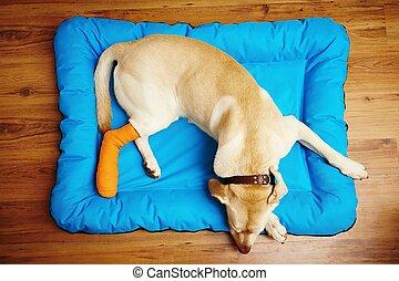 Dog with broken leg - Yellow labrador retriever is sleeping...