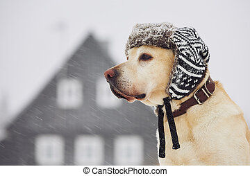 Dog with cap in winter - Labrador retriever with cap on his ...