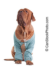 Dog with cardigan