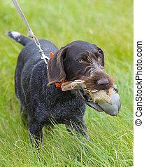 Dog retreiving a Chukar Partridge