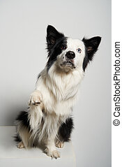 Dog with different colored eyes sitting with raised paw