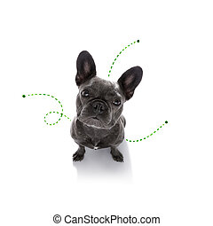 dog with fleas, ticks or insects - french bulldog dog ...
