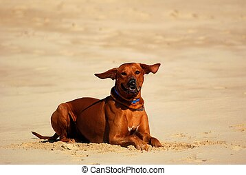 A big brown well behaved purebred African Rhodesian Ridgeback hound dog with funny flying ears in the wind lying down in sand and watching