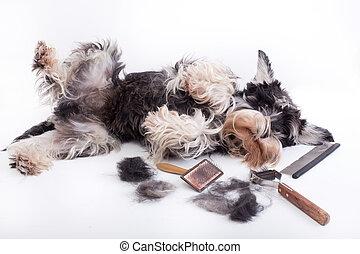 Dog with grooming equipment - Cute miniature schnauzer lying...
