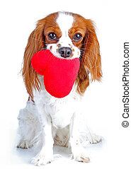 Dog with heart Cavalier king charles spaniel dog photo. Beautiful cute cavalier puppy dog on isolated white studio background. Trained pet photos for every concept.