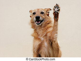 Cute scruffy terrier dog doing high five with her paw with big smile on her face
