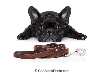 french bulldog dog waiting for a walk with owner, begging and looking at you , isolated on white background