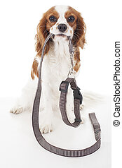 Dog with leather leash waiting to go walkies. Walking leash with collar. Cute dog holding collar and leash.