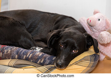 Dog with lucky pig - Black dog in his bed with lucky pig