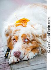 Dog with mapple leaf on head