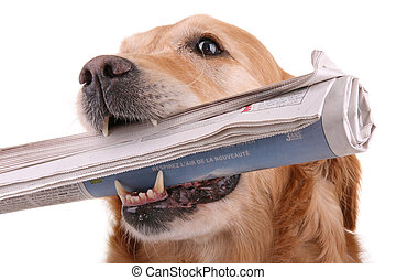 dog with newspaper - golden retriever with newspaper