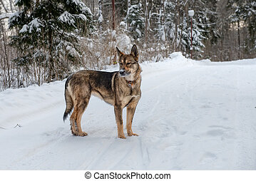 Dog with nose snow in the winter forest