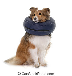 dog with protective collar