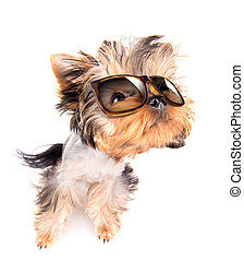 dog with shades - baby dog with fashion shades on a white...