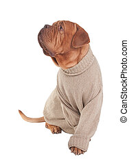 Dog with sweater