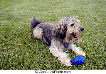 Dog with tennis-ball - Picture of dog lying on the grass...