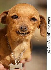 dog with weird smile - Close view of a domestic dog with a...