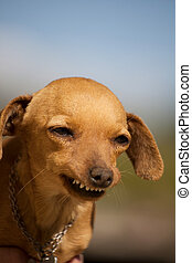 dog with weird smile - Close view of a domestic dog with a ...