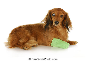 dachshund with wounded paw laying down with reflection on white background