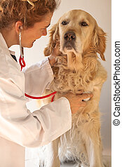 Veterinarian performs a routine to a Golden Retriever