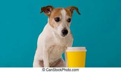 Cute jack russell dog whith yellow paper cup looking at camera isolated on blue background